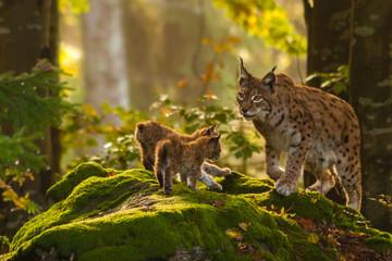 Printed roller blinds Lynx Luchs mit Jungen