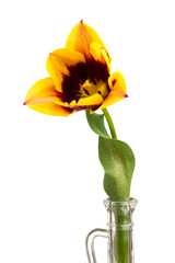 Fototapete - Tulip isolated on white background