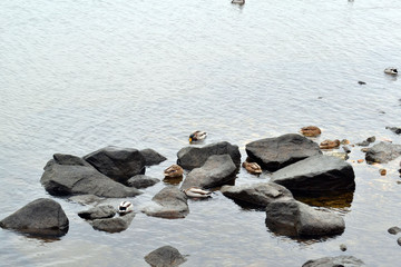 flock of wild ducks sitting on rocks in the river