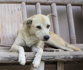 Old white dog on rustic wooden bench. Village life scene with white dog