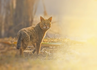 Jungle cat ( Felis chaus)