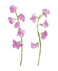 ピンク色のスイートピー 水彩イラスト