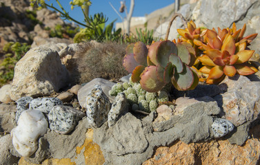 Succulents on the stone beach