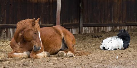 Pferd liegt neben Ziege