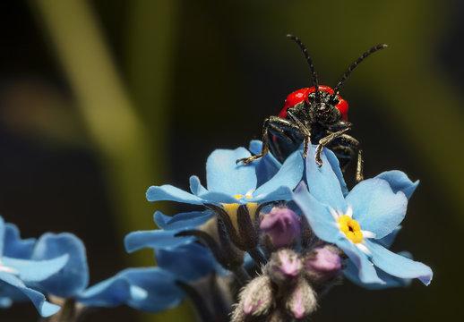 Rotrockkäfer auf einer blauen Blume (Makro)