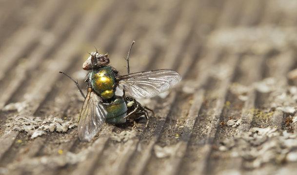 Springspinne erbeutet eine Fliege (Heliophanus aeneus)