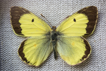 Colias hyale, clouded butterfly.