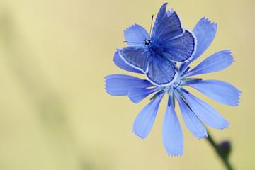 Blue butterfly on cornflower
