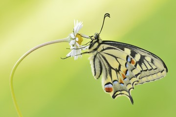 Old World swallowtail butterfly perching on daisy