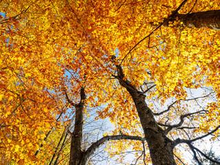 Golden leaves treetop autumn tree