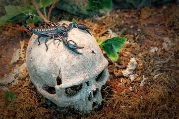 black scorpion on the skull