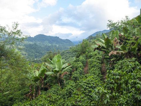 Mountain coffee plantation, highland coffee