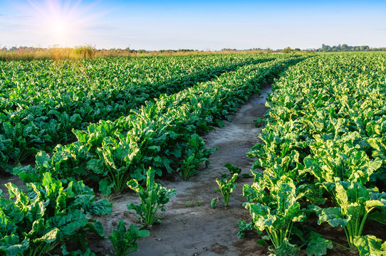 field of sugar beet