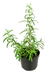 green rosemary in a pot