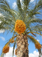 date palm with ripening dates