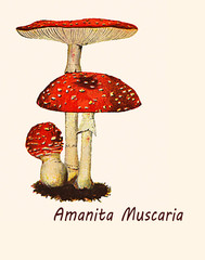 Vintage illustration of Amanita muscaria, toxic mushroom with narcotic and hallucinogenic property, well recognizable from the beautiful red cap with white spots.