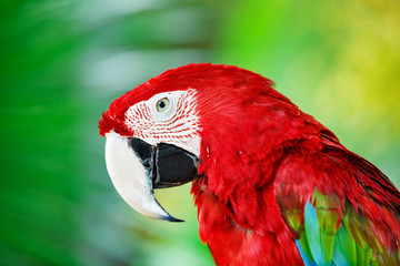 Colorful portrait of Amazon red macaw parrot against jungle. Side view of wild ara parrot head on green background. Wildlife and rainforest exotic tropical birds as popular pet breeds.