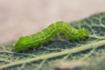 Green caterpillar on a leaf of sage
