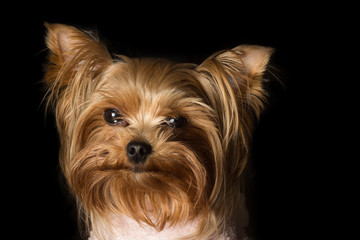 Portrait of a Girl Yorkshire Terrier on the black background