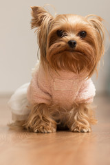 Dog Yorkshire Terrier girl in blouse sitting on the floor down the ear