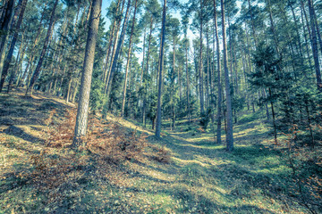 Picture of pine forest, vintage photo taken in Poland in springtime season, landscape