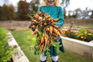 Girl holding bunch of muddy carrots