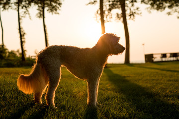 Dog standing in field at sunset