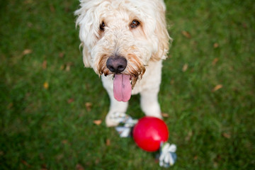 Dog with tongue out and red ball