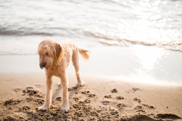 Wet dog standing on sand by shoreline