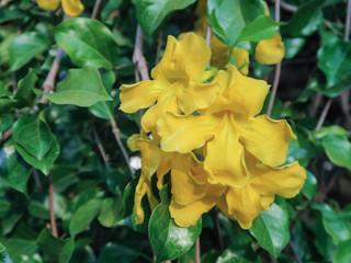 the yellow Thunbergia Kirkii flower
