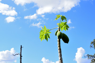 papaya tree and sky