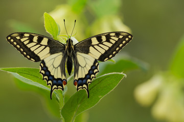 Beautiful butterfly on plant with soft green background. Papilio Machaon butterfly in wild nature