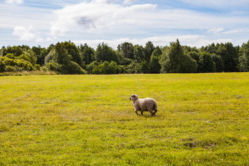 Sheep moving in a beautiful meadow wth green grass and forest