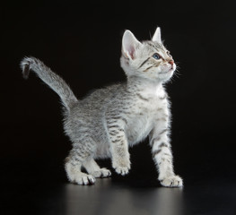 Egyptian Spotted Cat Breed Crossword