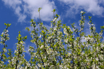 A beautiful spring view of cherry tree branches over a blue sky