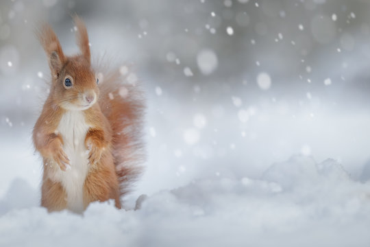 Adorable red squirrel in winter snow