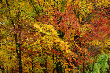 Bright autumn leaves in the natural environment. Fall maple tree