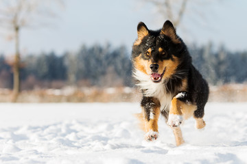dog runs in the snow