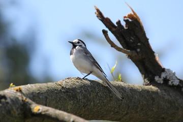 Fototapeta premium Wild Willow tit on tree