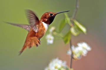 Rufus Hummingbird, male in flight hovering by blooming cherry tree.