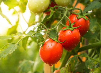 Tomato crop with water drop and sunlight