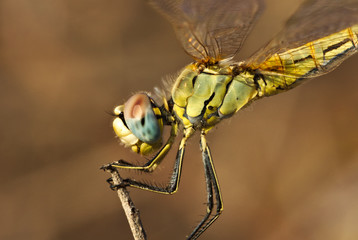 Yellow dragonfly resting on a brown straw