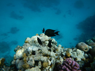 Underwater world of the Red sea