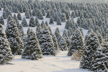 Douglas Fir, Christmas Tree Farm Covered in a Blanket of Snow, a Winter Wonderland, Trees Shown is Soft-Focus in Background, Daytime - Willamette Valley, Oregon