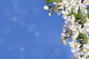 Flower of cherry wood.