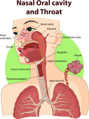Vector illustration of Nasal and oral cavities