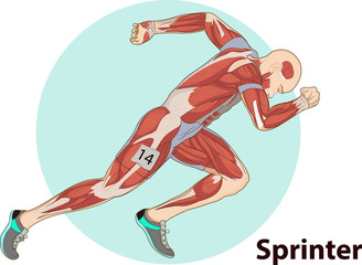 Vector illustration of Sprinter muscle anatomy
