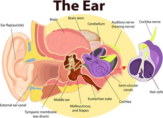 Vector illustration of Examination ear anatomy
