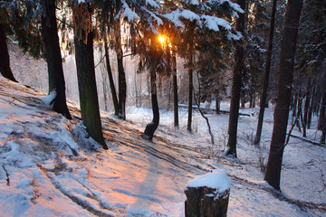 Sunrise in a winter park, the sun's rays pass through a large branch of fir