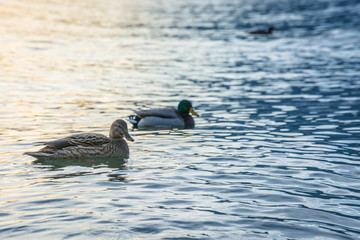 Ducks swim in Lake Como, Italy